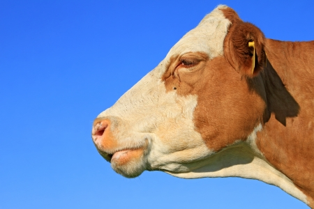 Head of a cow against the sky photo