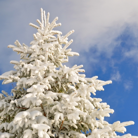 Fir under snow Stock Photo - 15447335