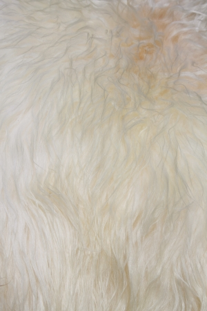 The manufactured skin of a sheep photo
