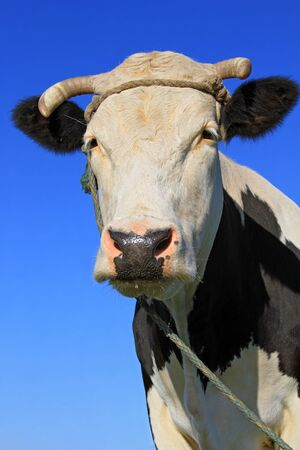 Head of a cow against the sky Stock Photo - 15824585