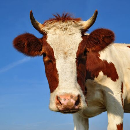 Head of the calf against the sky Stock Photo - 15865281