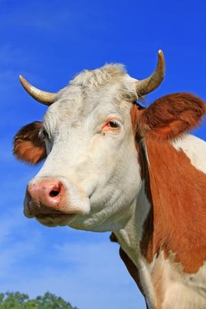 milchkuh: Kopf einer Kuh gegen den Himmel