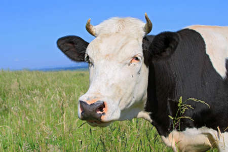 cow head: Head of a cow against a pasture Stock Photo