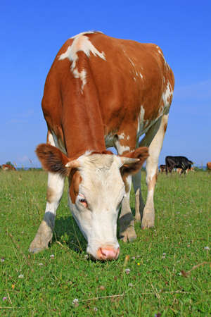 The calf on a summer pasture Stock Photo - 16263681