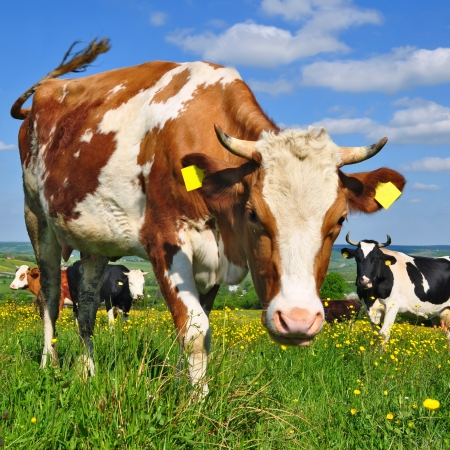Cows on a summer pasture Stock Photo - 16427155