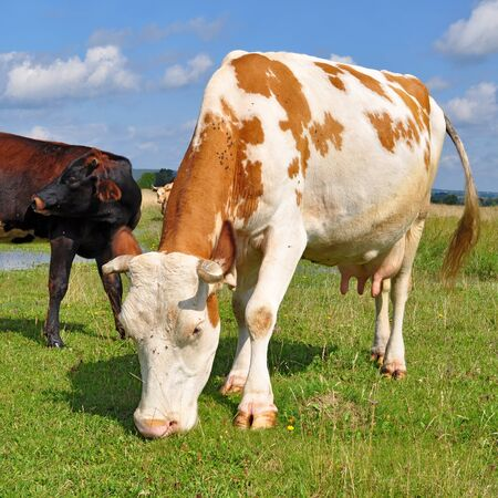 Cow on a summer pasture Stock Photo - 16427260