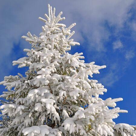 Fir under snow Stock Photo - 16427145