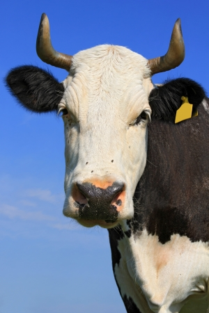 Head of a cow against the sky Stock Photo - 16427341