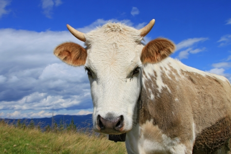 Cow on a summer mountain pasture photo