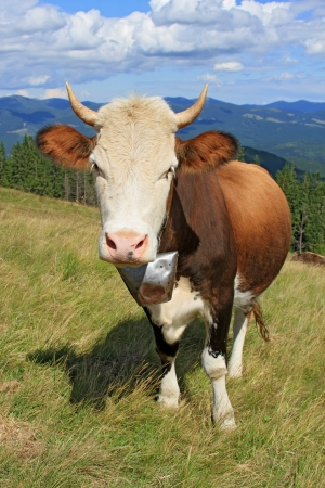 Cow on a summer mountain pasture Stock Photo - 16427583
