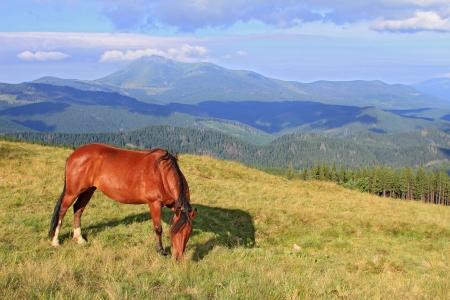 steeplechaser: Horse on a summer mountain pasture