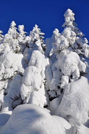 Firs  under snow Stock Photo - 16427154