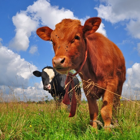The calf on a summer pasture Stock Photo - 16505868