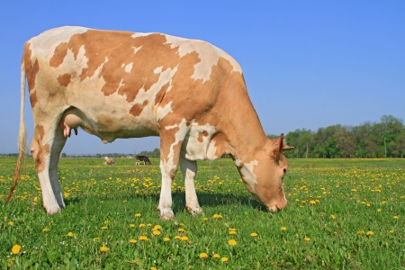 Cow on a summer pasture Stock Photo - 16506206