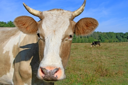 Head of a cow against a pasture Stock Photo - 16506309