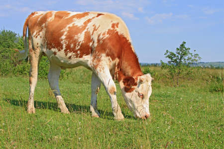 The calf on a summer pasture Stock Photo - 16613746