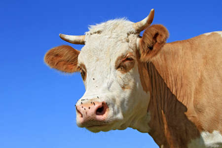 Head of a cow against the sky Stock Photo - 16613734