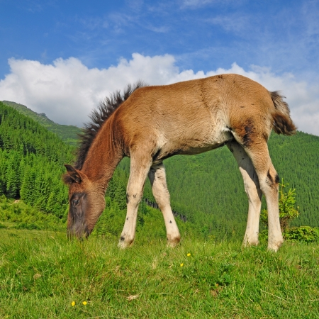 Foal on a summer mountain pasture Stock Photo - 16701018