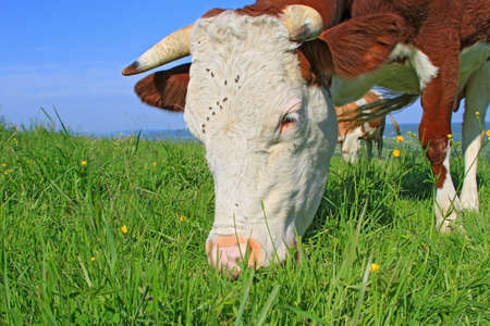 Head of a cow against a pasture Stock Photo - 16701277