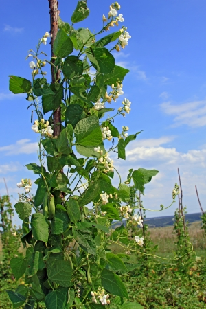 Young stalks of a string bean on poles Stock Photo - 16701137