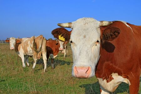 Head of a cow against a pasture Stock Photo - 16701101