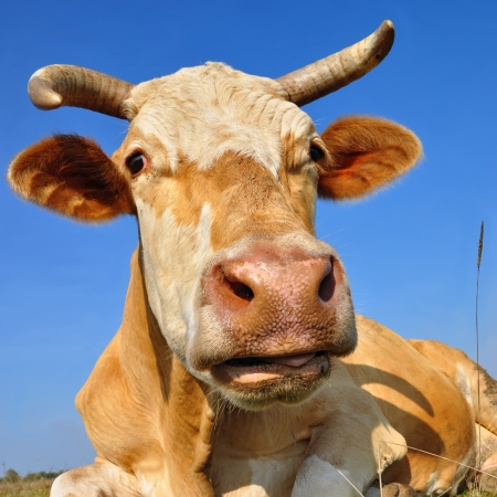 Head of a cow against the sky Stock Photo - 16747665