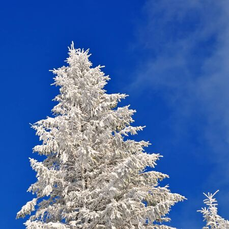 Fir under snow Stock Photo - 16821174