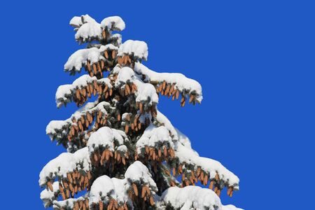 Fir with cones under snow Stock Photo - 16910084