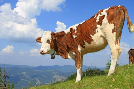 The calf on a summer mountain pasture Stock Photo - 16968501