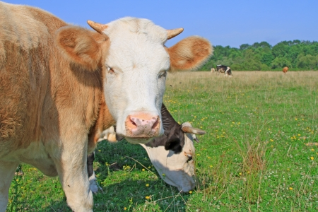 The calf on a summer pasture Stock Photo - 17057368