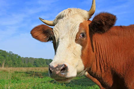 Head of a cow against a pasture Stock Photo - 17238789