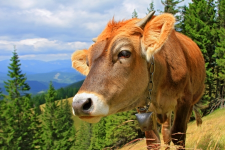 The calf on a summer mountain pasture photo