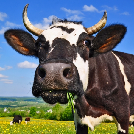 cows: Cow on a summer pasture Stock Photo