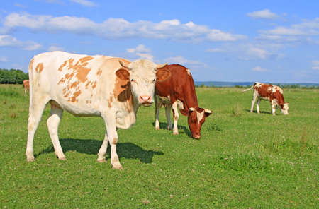 Cows on a summer pasture Stock Photo - 17686402