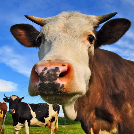 Head of a cow against a pasture Stock Photo - 17799009