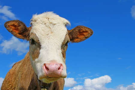 Head of the calf against the sky Stock Photo - 17799306