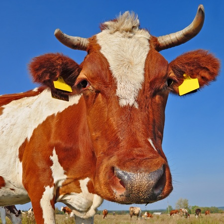 Head of a cow against the sky Stock Photo - 17924263
