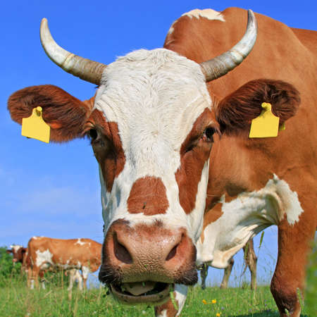 Cow on a summer pasture Stock Photo - 17925123
