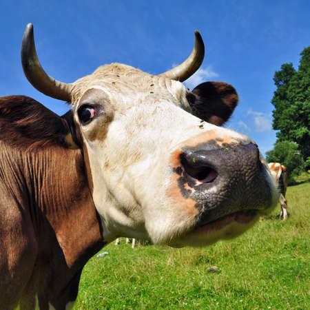 Head of a cow against a pasture Stock Photo - 17970493