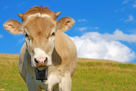 The calf on a summer pasture Stock Photo - 18034332