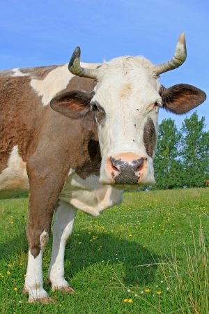 Cow on a summer pasture Stock Photo - 18154372
