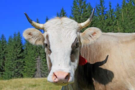 Head of a cow against a pasture Stock Photo - 18154138