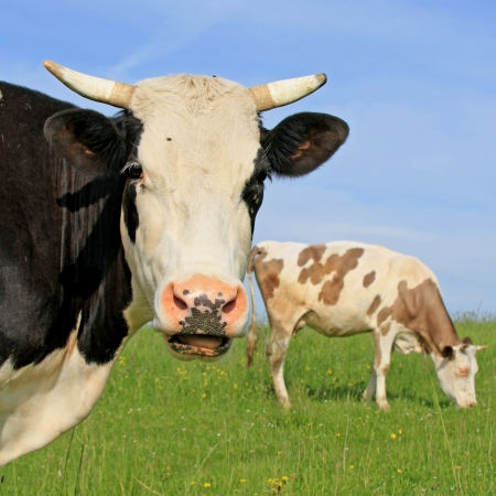 Head of a cow against a pasture Stock Photo - 18195104