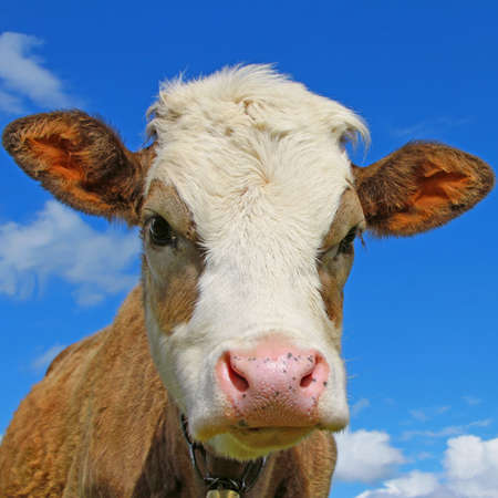 Head of the calf against the sky photo