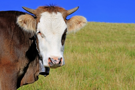 Head of the calf against a pasture Stock Photo - 18287249