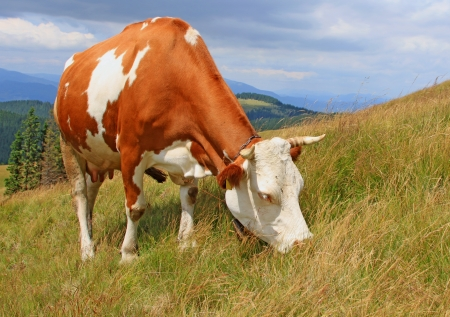 Cow on a summer mountain pasture Stock Photo - 18294734