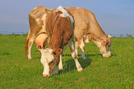 The calf near mother on a summer pasture Stock Photo - 18354885
