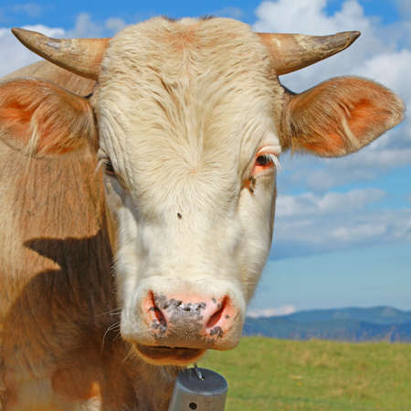 Head of the calf against a pasture Stock Photo - 18354794