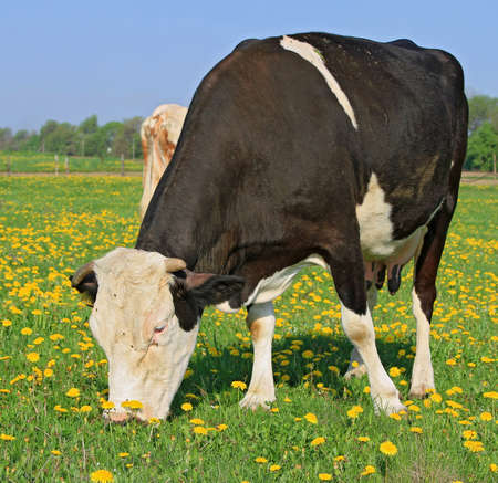 Cow on a summer pasture Stock Photo - 18356420