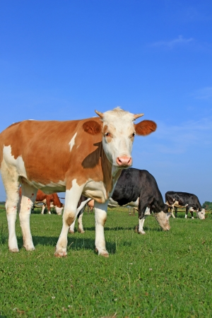 The calf on a summer pasture Stock Photo - 18356418